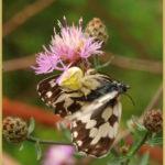 A pillangó halála